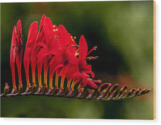Crocosmia Wood Print