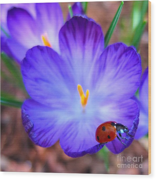 Crocus Flower With Ladybug Wood Print