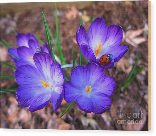 Crocus Flowers And Ladybug Wood Print