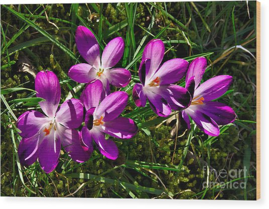 Wood Print featuring the photograph Crocus In The Grass by Jeremy Hayden