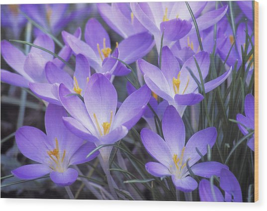 Crocus Joy Wood Print