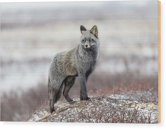 Cross Fox Wood Print