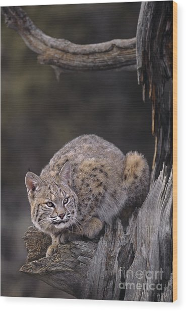 Wood Print featuring the photograph Crouching Bobcat Montana Wildlife by Dave Welling