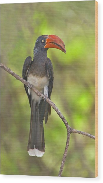 Crowned Hornbill Perching On A Branch Wood Print