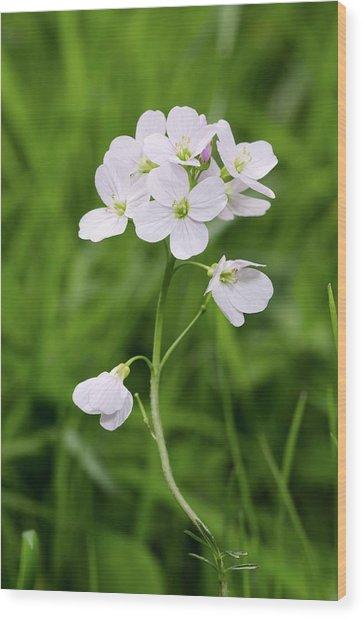 Cuckoo Flower (cardamine Pratensis) Wood Print