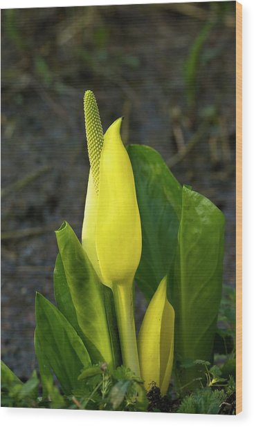 Cuckoo Pint (arum Maculatum) Wood Print