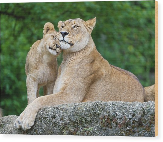 Cuddling With Mom Wood Print by Picture By Tambako The Jaguar