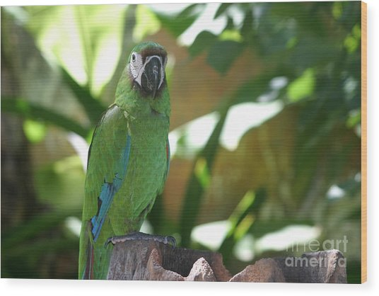 Curacao Parrot Wood Print