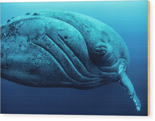 Curious Female Humpback Whale, Closeup Wood Print