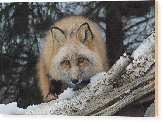 Curious Fox Wood Print