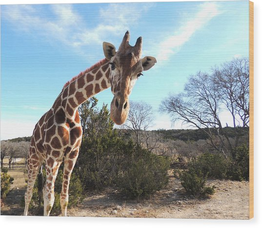 Curious Giraffe At Fossil Rim Wildlife Center Wood Print