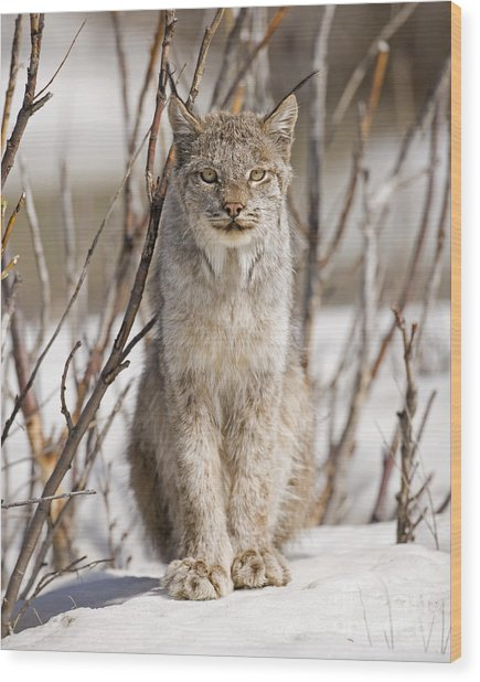 Curious Lynx Wood Print by Tim Grams