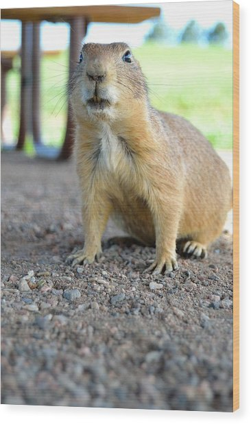 Curious Prairie Dog Wood Print by Ray Franks