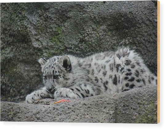 Curious Snow Leopard Cub Wood Print