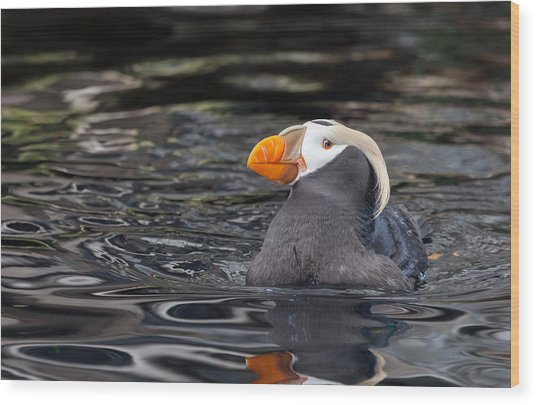 Curious Tufted Puffin Wood Print