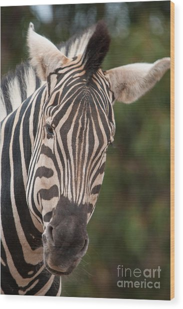 Curious Zebra Wood Print