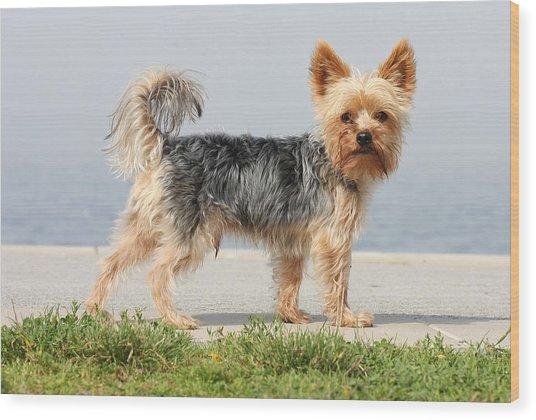 Cut Little Dog In The Sun Wood Print