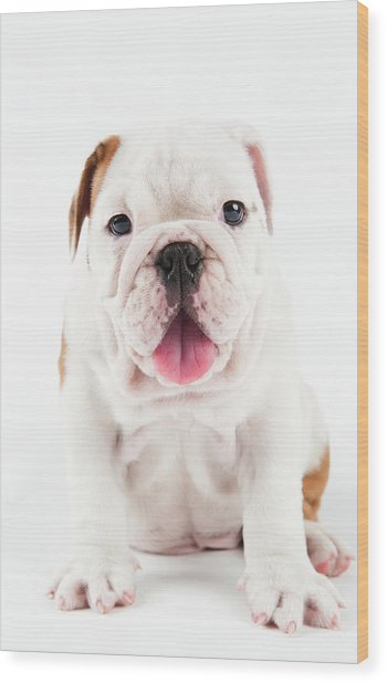 Cute Bulldog Puppy On White Background Wood Print by Peter M. Fisher