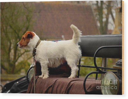 Cute Dog On Carriage Seat Bruges Belgium Wood Print