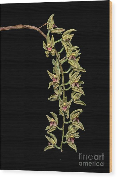 Cymbidium Devonianum Wood Print by Geoff Kidd