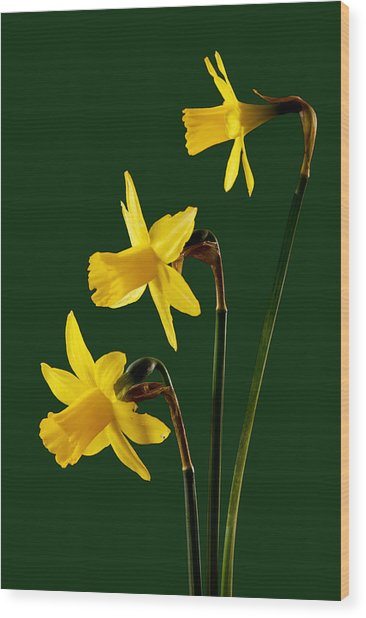 Daffodil Arrangment Wood Print