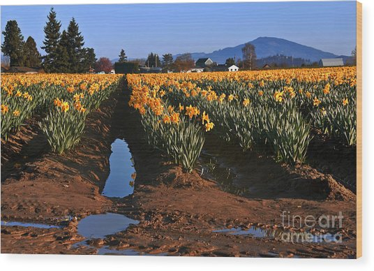 Daffodil Field After A Spring Rain Wood Print