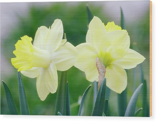 Daffodil Flowers (narcissus Sp.) Wood Print by Maria Mosolova/science Photo Library