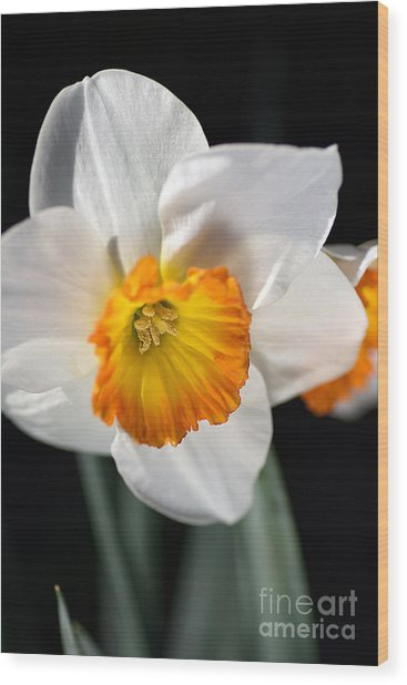Daffodil In White Wood Print