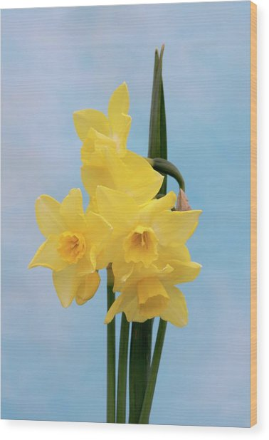 Daffodil (narcissus 'quail') Wood Print by Brian Gadsby/science Photo Library