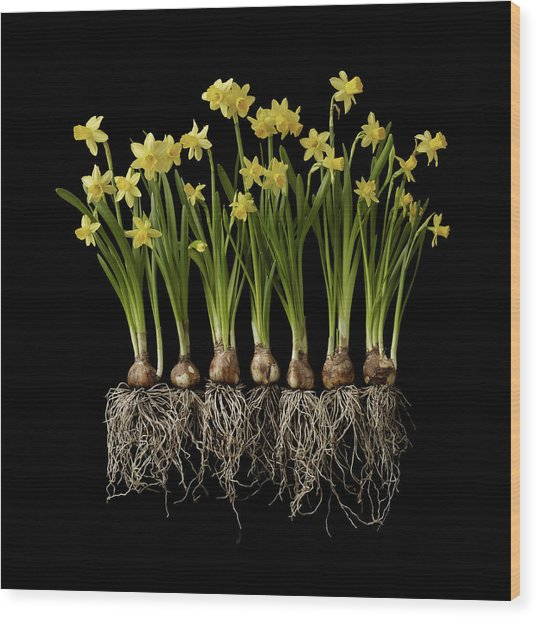 Daffodil Plants On Black Background Wood Print by William Turner