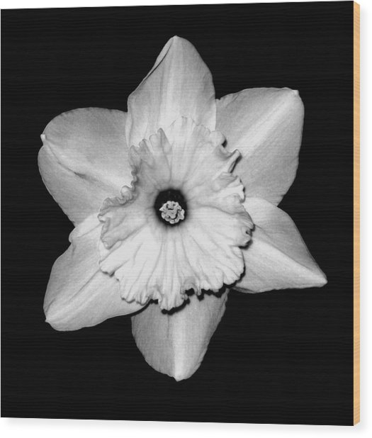 'daffodil Portrait' Wood Print