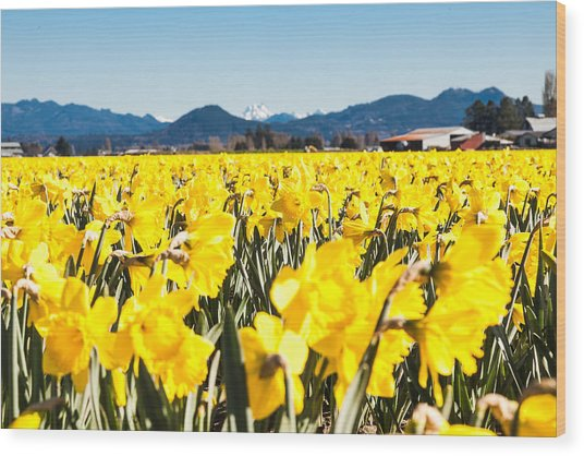 Daffodils And Snow-capped Mountains Wood Print
