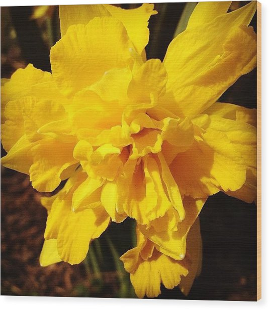 Daffodils Are Blooming Wood Print