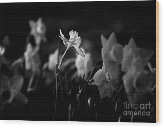 Daffodils In Black And White Wood Print