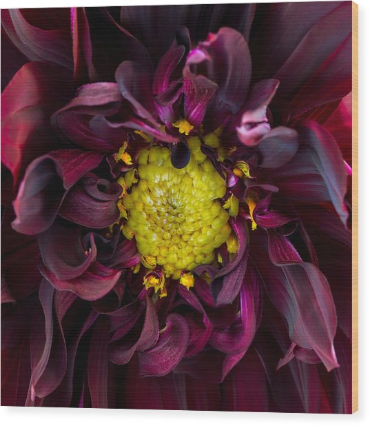 Dahlia - A Study In Crimson Wood Print