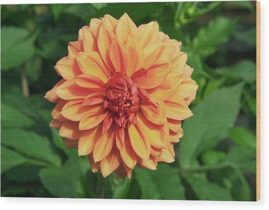 Dahlia 'askwith Lorie' Wood Print by Adrian Thomas/science Photo Library
