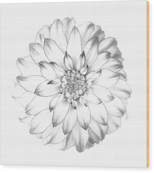 Dahlia Flower As Drawing In Black And White. Wood Print by Rosemary Calvert