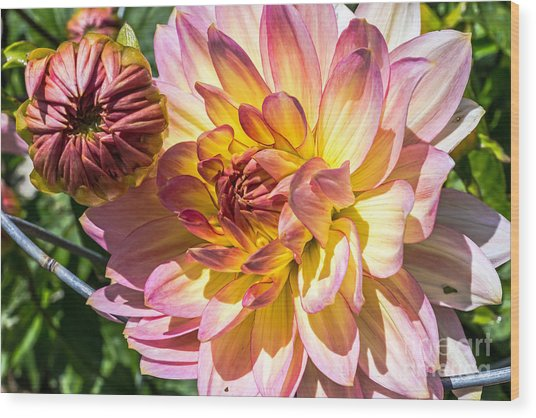 Wood Print featuring the photograph Dahlia by Kate Brown