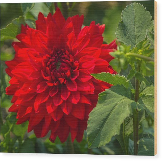 Dahlia Perfection Wood Print