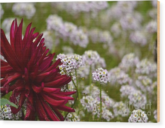Dahlia With Alyssum Wood Print by Marsha Schorer