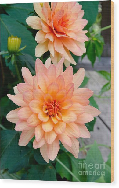 Dahlias Wood Print