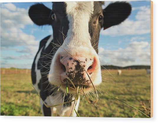 Dairy Cow Wood Print by Tony C French