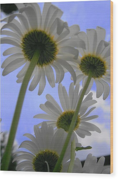 Daisies From Down Under Wood Print by Marisa Horn