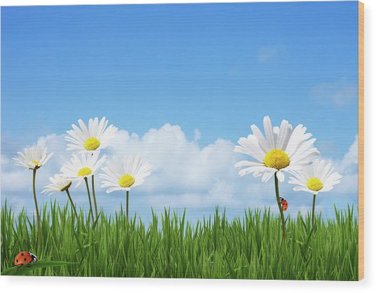 Daisies In A Summer Meadow Wood Print by Andrew Dernie