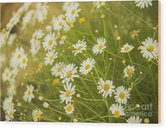 Daisies In A Summer Medow Wood Print