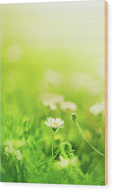 Daisies In The Field Wood Print by Jeja