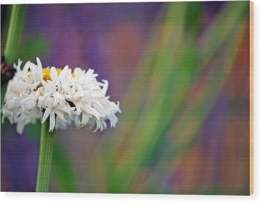 Daisy At Attention Wood Print