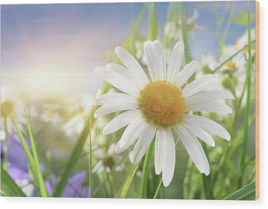 Daisy Close-up In Sunlight Wood Print by Pobytov