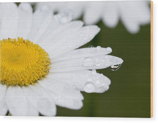 Daisy In A Drop Wood Print