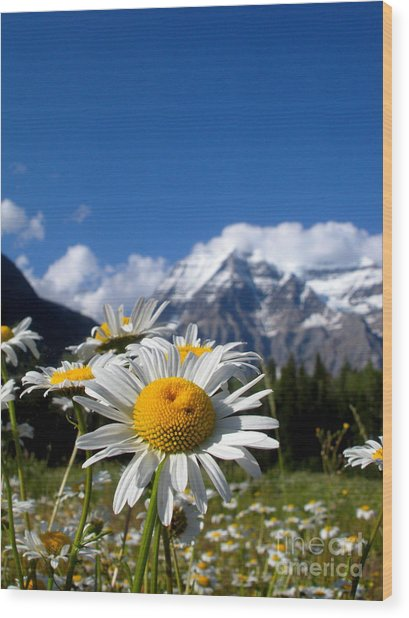 Daisy In Rocky Mountains Wood Print by Sophia Elisseeva